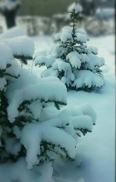 my silver fir Winter Scenery, Winter Colors, I Love Snow, Snow Photography, Winter Beauty, Baby Winter, Winter Landscape, Winter Is Coming, Jack Frost