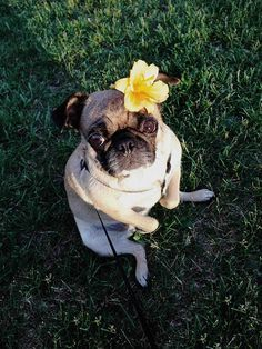Pretty flowers and pugs.