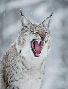 Sleepy Lynx so beautiful and fierce Rare Animals, Animals And Pets, Strange Animals, Beautiful Cats, Animals Beautiful, Anime Lobo, Big Cats, Cute Cats, Pet Rats