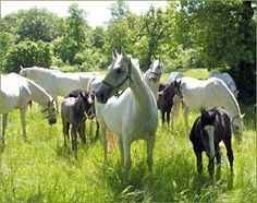 Young Lipizzaner foals with their mares