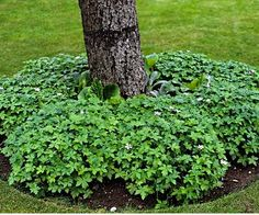 Look for shade-tolerant varieties that don't need regular cutting to look tidy, since a string trimmer can damage tree trunks. Unlike turf, the ring of hardy geraniums shown here happily grows in partial shade and requires little tending. When planting under conifers, keep in mind that their branches shed water. Plants that like dry shade will grow best.