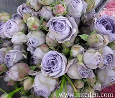 The perfect dusty blue / lavender rose: Blue Pompon Spray Rose