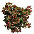 $121.66 for 150 stems, Red Hypericum Berries from Sam's