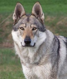 I can't even explain how much I want a Czechoslovakian Wolfdog! Wolf Dog Breeds, Dog Breeds Little, Large Dog Breeds, Pet Dogs, Dogs And Puppies, Doggies, Low Maintenance Dog Breeds, Unusual Dog Breeds, Dog Breeds That Dont Shed