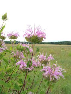 Bergamot (Monarda fistulosa) Edible Wildflowers -  - learn which ones you can eat