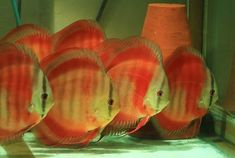 Photo gallery of Discus fish - Live Tropical Fish - Live Tropical Fish Discus Aquarium, Discus Fish, Planted Aquarium, Aquariums, Tropical Freshwater Fish, Freshwater Aquarium Fish, Tropical Fish, Fish Gallery, Betta Fish Types