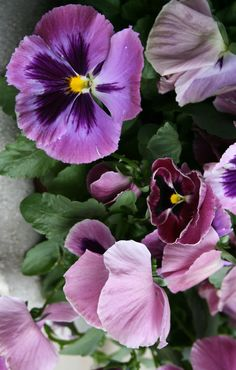 pink and purple pansies...these were so beautiful growing in the flower beds around the house. Mom loved them!