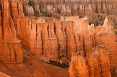 Lone pine tree lost in Bryce Canyon Hoodoos. Bryce Canyon National Park Utah // Ağaç, tree