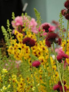 Cirsium rivulare 'Atropurpureum'.  Photo taken at the 2011 RHS Chelsea Flower Show.  www.adamwoodruff.com