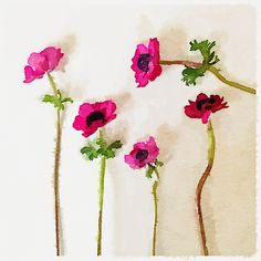 Miss Zynp: Anemones in watercolour