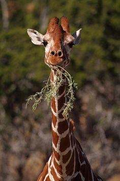 Giraffes Giraffe