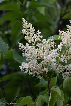 Syringa reticulata - Japanese Tree Lilac