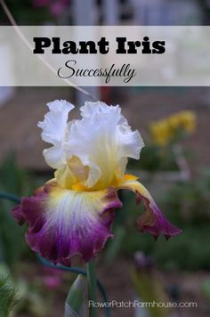 How to plant iris successfully and get more and more each year. FlowerPatchFarmhouse.com