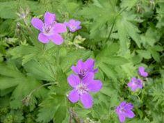 Geranium sylvaticum.JPG