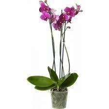 Bildresultat för orchide lila