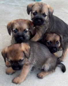 Border Terrier puppies- best dogs in the whole wide world.