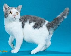 CFA Breed Personality Chart.  Pics of different cat breeds, and descriptions of physical characteristics and personality types.