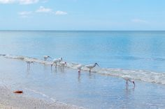 A group of ibises eating on the beach. || #AlexTonettiPhotography #Photography
