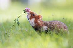 花の香りを嗅ぐネズミ