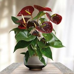 Flamingo plant Anthurium Otazu Brown - 1 plant Buy online order yours now Flamingo Plant, Flamingo Flower, Nylon Flowers, Exotic Flowers, Bulb Flowers, Flower Pots, Exotic House Plants, Front Door Christmas Decorations, Air Cleaning Plants