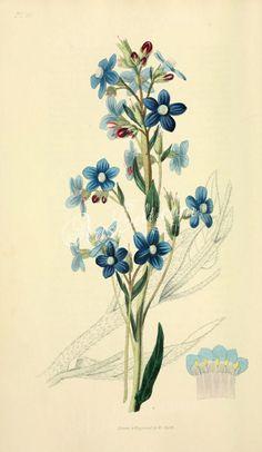 10-Panicled Bugloss - anchusa paniculata      ...