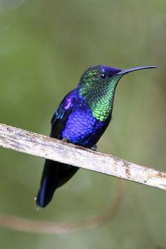 Violet-capped Woodnymph by Stu.Elsom