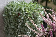 Dichondra srebrzysta Plants, Flora, Plant