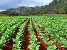 Comienza la siembra en provincia mayor productora de tabaco en Cuba - Radio Reloj