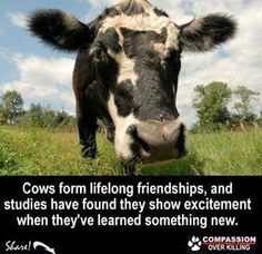 #vegan #inspiration FUCK YEAH, MISTER COW. WHAT DID I TELL EVERYONE????  I'M TOTALLY GETTING A PET COW LIKE I SAID I WOULD. COWS ARE LOVING AND AREN'T STUPID PIECES OF POO. THEY ONLY MAKE POO, DUHHHH ! ! ! ! ! ! !  -Crystal <3