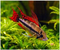 Aquarium Care for Freshwater Fish Freshwater fish are perhaps the easiest fish to care for in comparison to saltwater species because they are usually hardier Going Fishing, Fishing Rod, Fishing Tackle, Fishing Tips, Fishing Cart, Fishing Boots, Fishing Videos, Cichlid Aquarium, Fish Aquariums