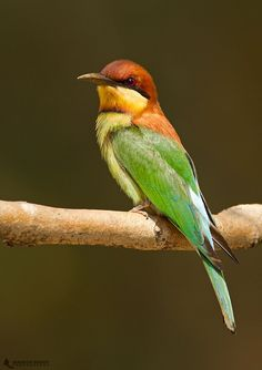 Chestnut-headed Bee-eater by Mahesh Reddy on 500px
