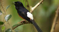 5 Burung KIcauan Dengan harga Tawaran Tertinggi sampai 300 juta
