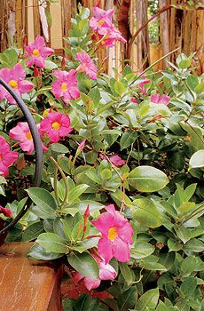 Dipladênia, floresce quase o ano inteiro. No inverno, a planta faz um repouso e é quando deve ser podada. Volta a se desenvolver com as temperaturas mais altas, na primavera. É boa para enrolar-se em treliças ou estruturas