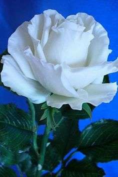 White Rose - Secret New Life Beautiful Rose Flowers, Flowers Nature, Exotic Flowers, Amazing Flowers, White Flowers, Blossom Garden, Rainbow Roses, Rose Pictures, Rose Wallpaper