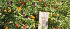 4 Big Tips to Successfully Planting Vegetables in Your Garden on Old World Garden Farms at http://oldworldgardenfarms.com/2015/04/03/4-big-tips-to-successfully-planting-vegetables-in-your-garden/