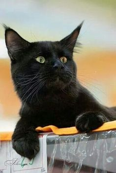 """""""If a black cat crosses your path, the animal is probably going somewhere."""" --Groucho Marx"""