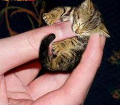 The World's Smallest Cat!