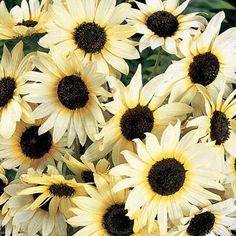 Annuals - Helianthus debilis Italian White Sunflower