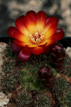 sulcorebutia tarabucoensis by jeffs bulbesetpots Unusual Flowers, Unusual Plants, Rare Flowers, Amazing Flowers, Cacti And Succulents, Planting Succulents, Planting Flowers, Desert Flowers, Desert Plants
