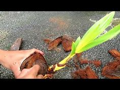 Bonsai Forest, Minions, Dan, Vegetables, Tips, Youtube, Vegetable Recipes, Minion, Minion Stuff