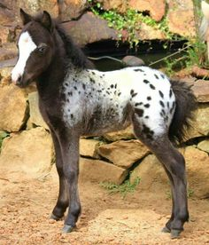 adorable Mini Appy foal