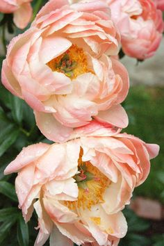 Coral Charm-peonies Beautiful gorgeous pretty flowers