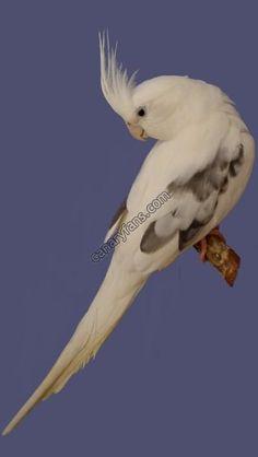 pearl pied Love Birds, Beautiful Birds, Cockatiel, Parakeets, Caique Parrot, Zebra Finch, Bird Art, Cute Animals, Sweet Hearts