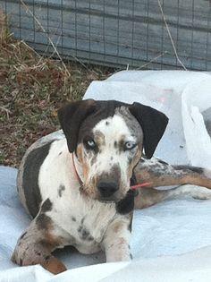 Our boy Flash <3. Catahoula Leopard dog. @Dawn Cameron-Hollyer Cameron-Hollyer Garrison Daniell