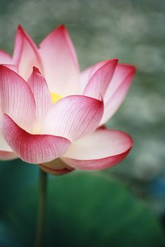 Lotus - This flowers positively glows, like there is a light in the center!