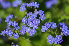 Kwiat, Niebieski, Zamknij, Wiosna, Makro