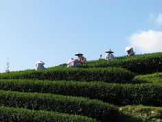 Tales from the Taiwanese Tea Fields | Comins Tea House | October 2013