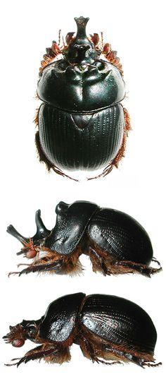 Bolborhinus trilobulicorne
