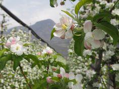 #apfelblüte #fioritura #meranerland #meranoedintorni #südtirol #altoadige #vistilana