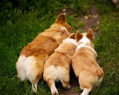 Pack of young Pembroke Welsh Corgi dogs #corgi